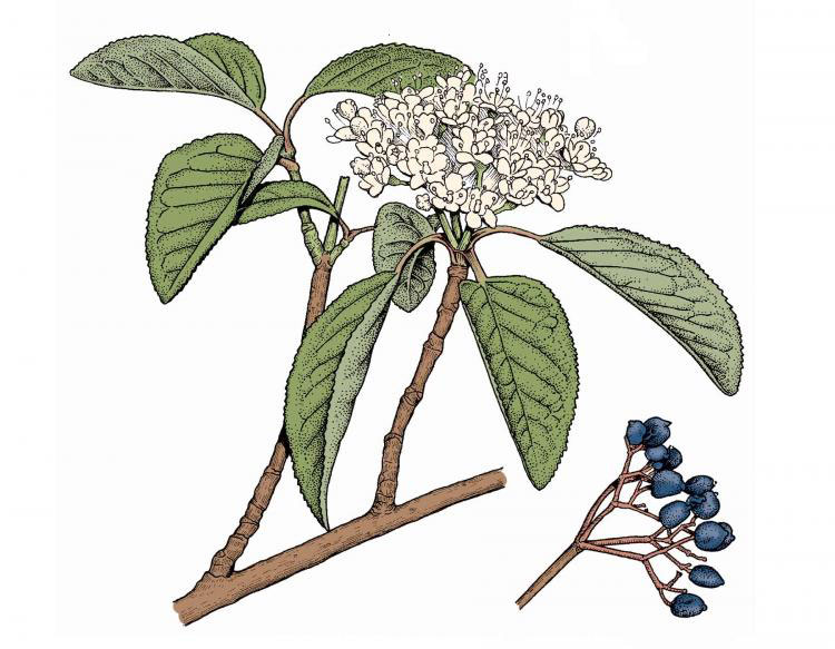Plant-Illustration-of-Nannyberry