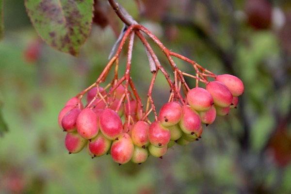Ripening-Nannyberry-fruits