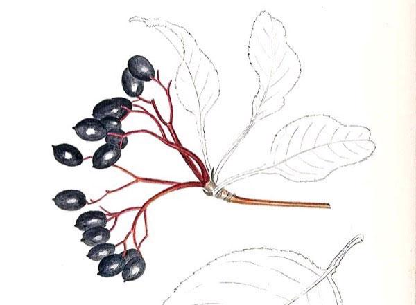 Sketch-of-Nannyberry