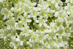 Closer-view-of-flower-of-Nannyberry-