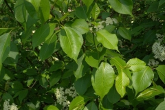 Leaves-of-Nannyberry