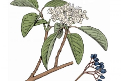 Plant-Illustration-of-Nannyberry