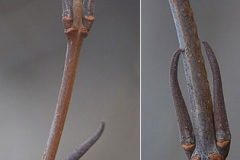 Twigs-and-buds-of-Nannyberry