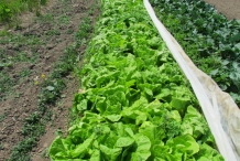 Napa-cabbage-farm