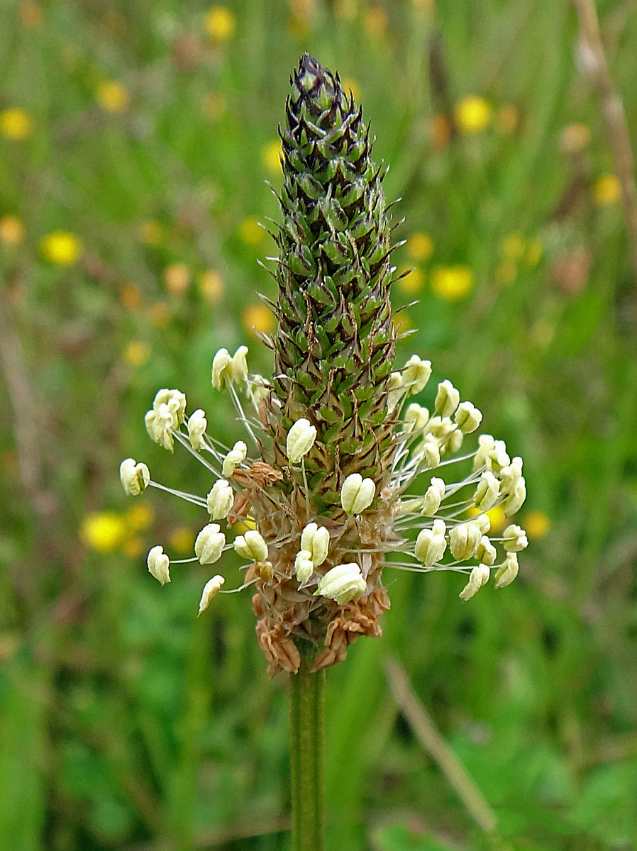 Closer-view-of-Seed-head-of-Narrow-leaf-plantain