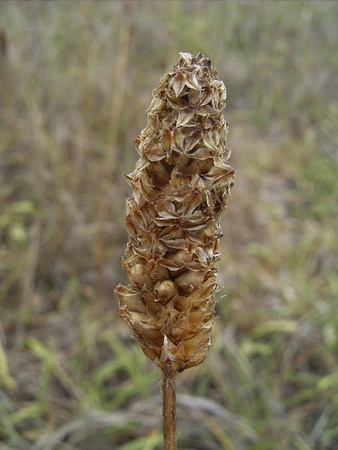 Dried-Seed-heads-of-Narrow-leaf-plantain