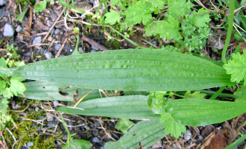 Leaves-of-Narrow-leaf-plantain