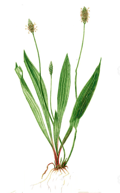 Sketch-of-Narrow-leaf-plantain