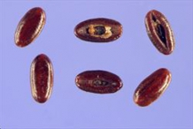 Closer-view-of-seeds-of-Narrow-leaf-plantain
