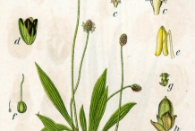 Plant-Illustration-of-narrow leaf-plantain