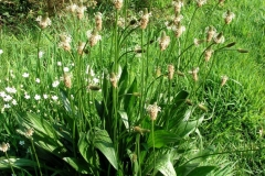 Narrow-leaf-plantain-Plant-growing-wild