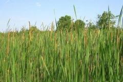 Narrow-leaved-cattail-farming