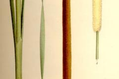 Plant-Illustration-of-Narrowleaf-cattail