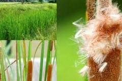 Seeds-of-Narrowleaf-cattail