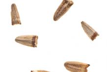 Fruit Cypselae-of-Narrowleaf-Coneflower