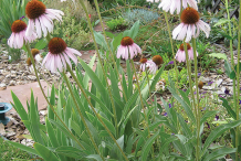 Narrowleaf-Coneflower-Plant