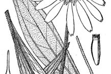 Narrowleaf-Coneflower-Sketches