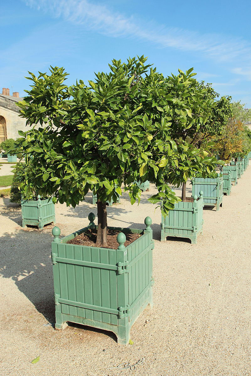 Navel-Orange-trees-in-movable-pots