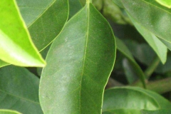 Leaves-of-Navel-Orange