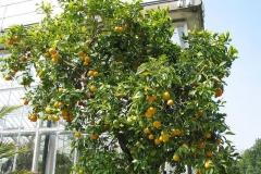 Navel-Orange-plant