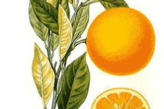 Plant-Illustration-of-Navel-Orange