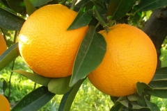 Ripe-Navel-Orange