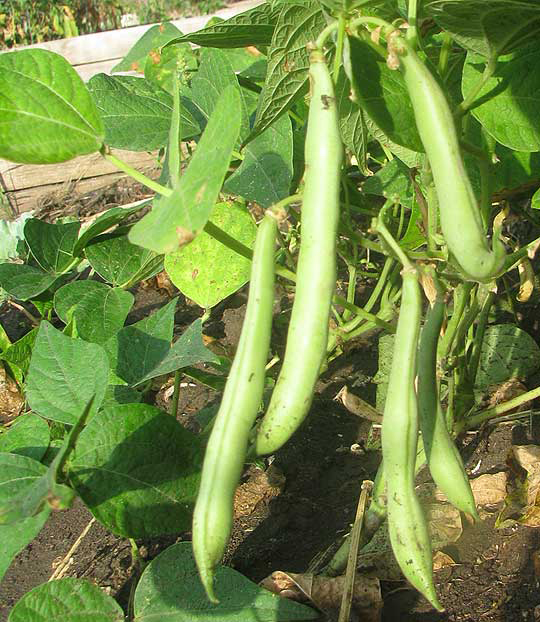 Pods-of-Navy-beans