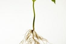 Navy-beans-plant