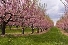 Nectarine-farm