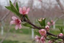 Nectarine-flowers