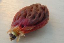 Nectarine-seed