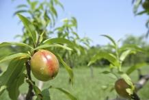 Unripe-Nectarine
