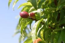 Young-Nectarine