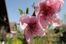 Close-up-flower-of-Nectarine