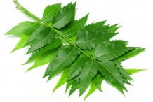 Leaves-of-Neem