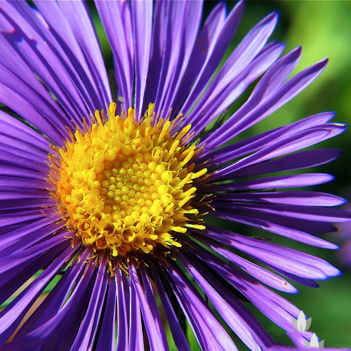 Closer-view-of-flower-of-New-England-Aster