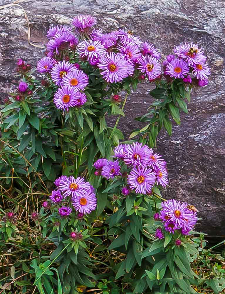 New-England-Aster-plant