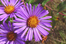 Flower-of-New-England-Aster