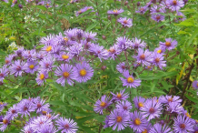 New-England-Aster-growing-wild