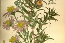 Plant-Illustration-of-New-England-Aster