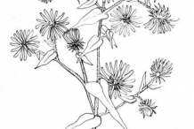 Sketch-of-New-England-Aster