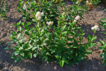 New-Jersey-Tea-plant