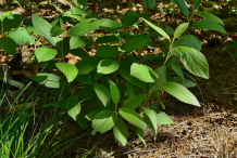 Young-New-Jersey-Tea-plant