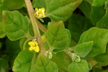 Close-up-flower-of-New-Zealand-spinach