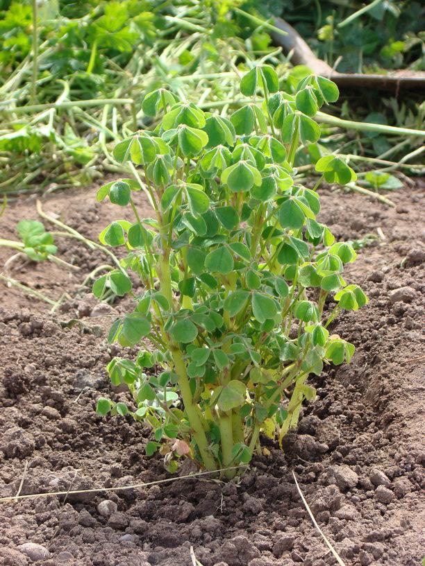 New-Zealand-Yam-plant
