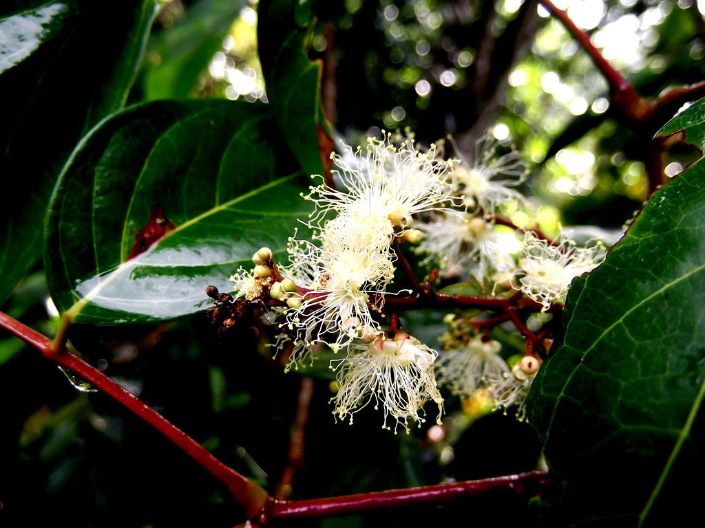 Flower-of-Ngapi-Nut