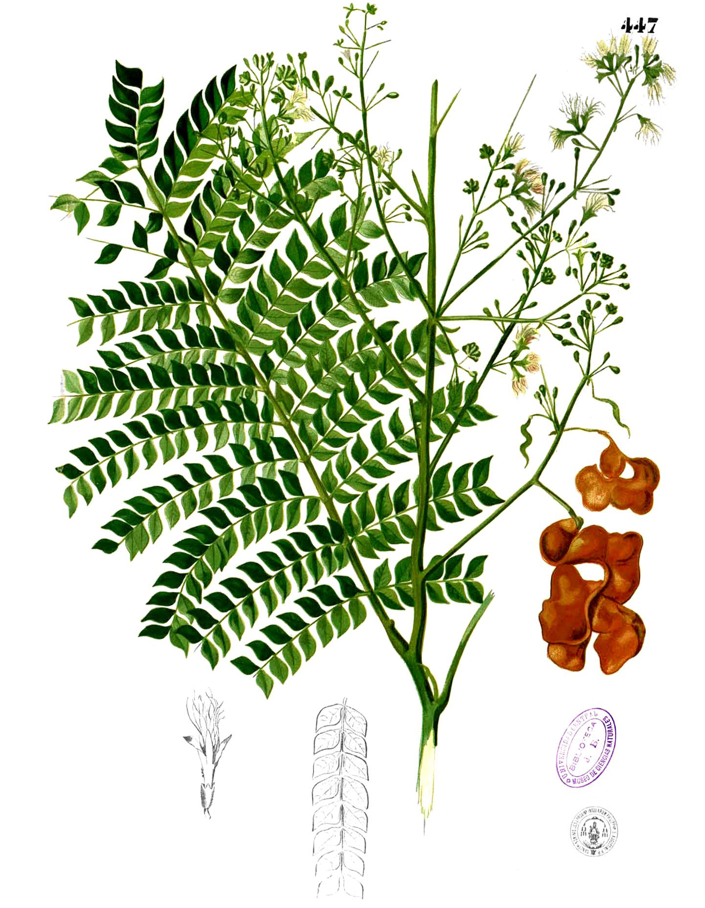 Plant-Illustration-of-Ngapi-nuts