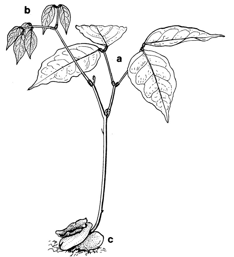 Sketch-of-Ngapi-Nut