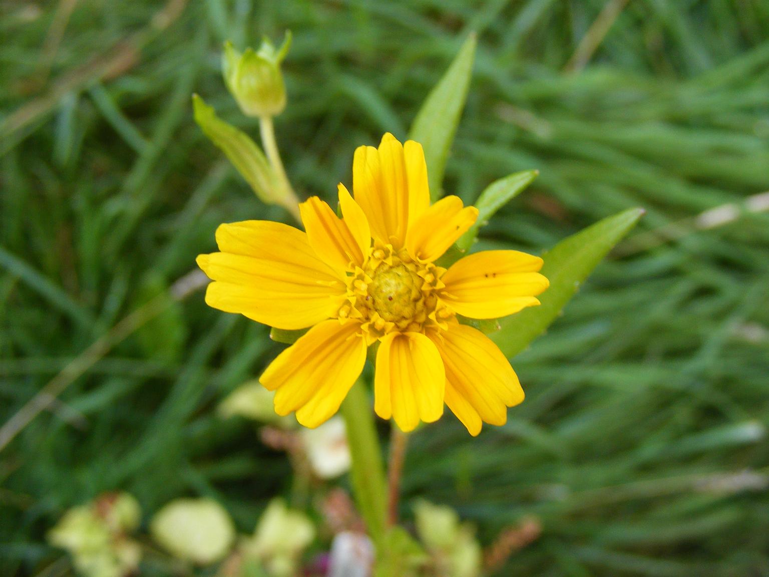 Niger-seeds-flower