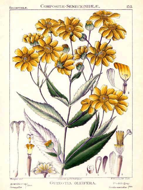 Niger-seeds-plant-illustration